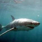 """El impresionante tiburón """"Toro""""."""