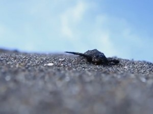 Las tortugas recién nacidas fueron secuestradas de su hábitat y llevadas a otro extraño.