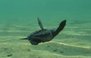 Una de las tortuguitas sacrificadas para el video clip.