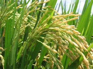 arroz (Small)