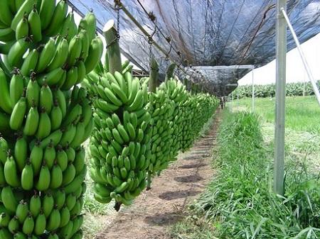bananonica