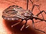 La chinche picuda transmisora del mal de Chagas.