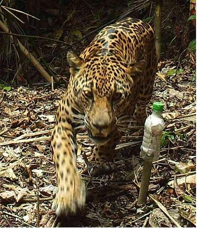El jaguar es uno de los animales en peligro de extinción en todo el continente.