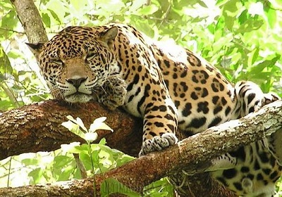 Jaguar you
