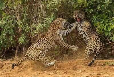 felinos jaguar